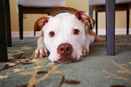 Can a Pitbull Live in An Apartment