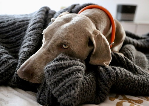 Cover a Dog with Blanket
