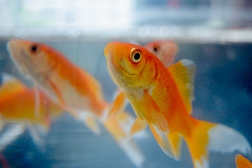 What Do Goldfish Like to Play With